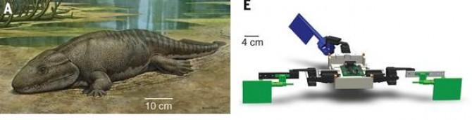 뭍에 올라온 최초의 고생물인 '익티오스테가'(왼쪽). 미국 연구진은 3D프린터로 익티오스테가와 닮은 로봇을 만들어 꼬리를 좌우로 움직이는 힘을 이용해 땅 위를 걸어다닌다는 사실을 밝혀냈다(오른쪽) - 사이언스 제공